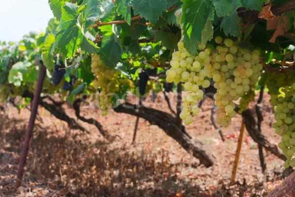 Wijngaard groene oogst witte druif Stockfoto © neirfy