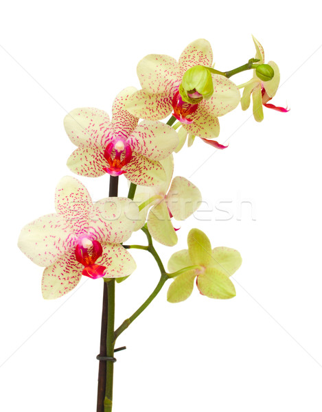 Stock photo: yellow and red orchid flowers  branch