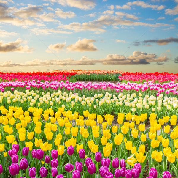 Nederlands Geel tulp velden veelkleurig Stockfoto © neirfy