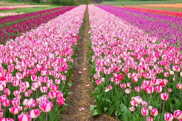 Nederlands tulpen roze Stockfoto © neirfy