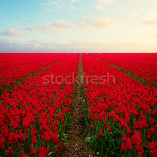 Nederlands Rood tulp velden veld Stockfoto © neirfy