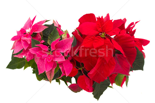 pink and red  poinsettia flowers or christmas star  Stock photo © neirfy