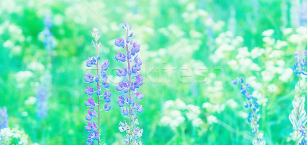 Violet lupine flowers Stock photo © neirfy