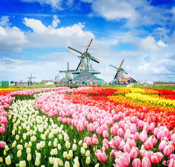 Foto stock: Holandés · viento · paisaje · tradicional · tulipanes