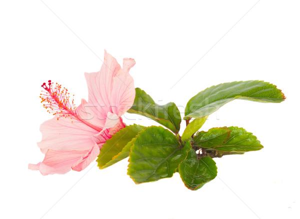 ピンク ハイビスカス 花 花 葉 孤立した ストックフォト © neirfy