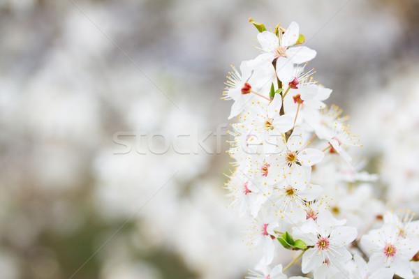 Primavera florescer galho árvore flores brancas Foto stock © neirfy