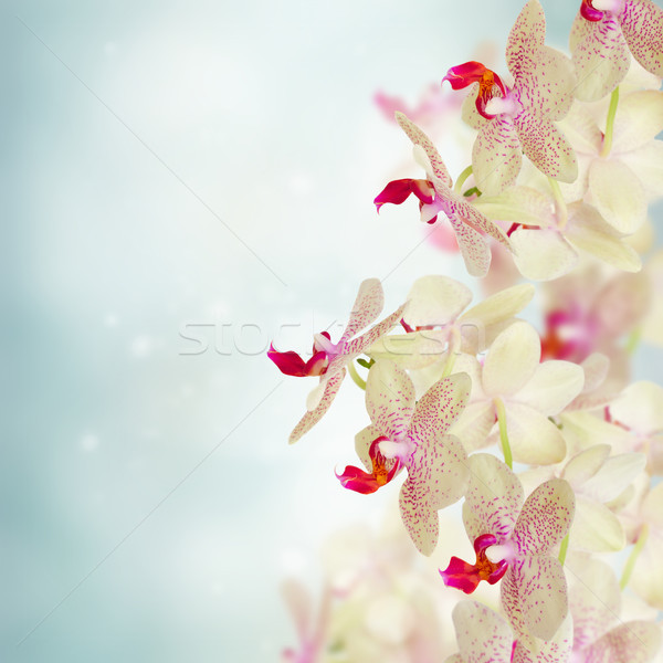 pink orchid flowers Stock photo © neirfy