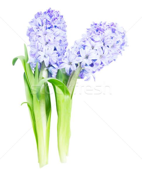Foto stock: Jacinto · fresco · flores · dois · azul · folhas · verdes