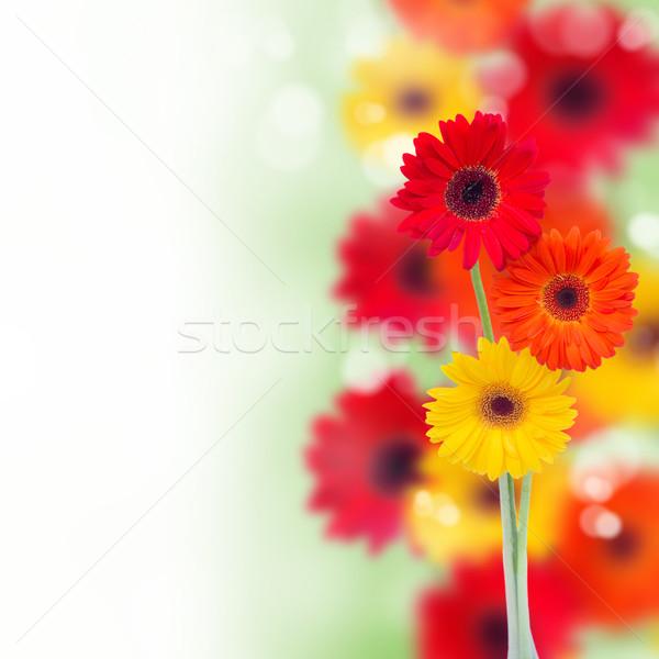 border of garden herbera flowers Stock photo © neirfy