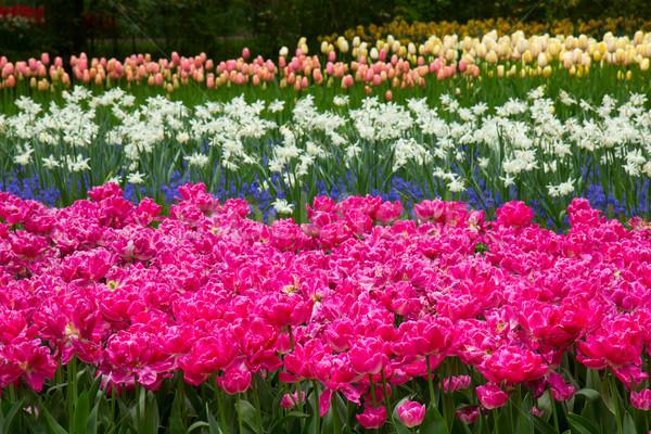 Holland tulipani campo fiori multicolore Foto d'archivio © neirfy