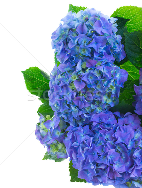 Frontera azul flores aislado blanco flor Foto stock © neirfy