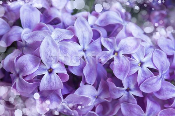 сирень цветы свежие красивой фиолетовый Сток-фото © neirfy