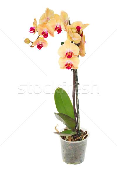 Stok fotoğraf: Turuncu · orkide · şube · taze · çiçekler · pot