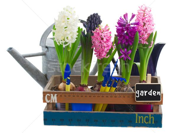 Sümbül pembe mor çiçekler yalıtılmış Stok fotoğraf © neirfy