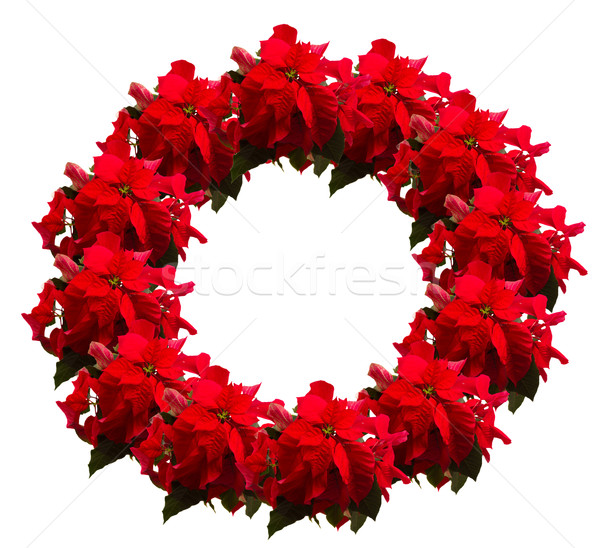 scarlet poinsettia flower or christmas star  Stock photo © neirfy