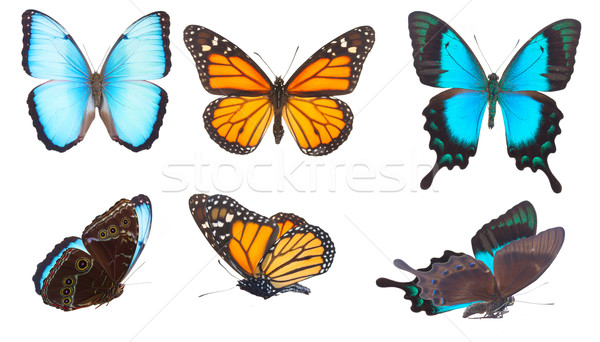 Blue morpho monarch and Sea Green Swallowtail butterflies  Stock photo © neirfy