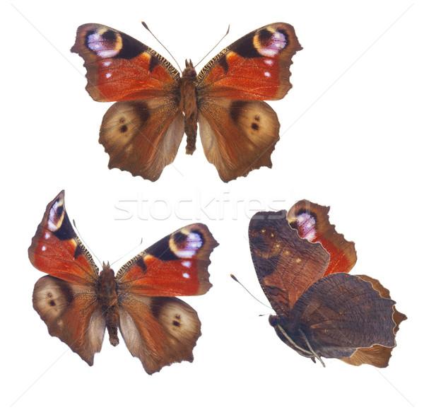 Paon papillon européenne isolé blanche Photo stock © neirfy