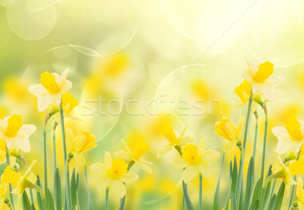 spring growing daffodils in garden Stock photo © neirfy