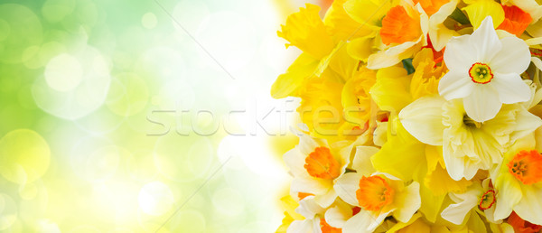 Narcissus in vase Stock photo © neirfy