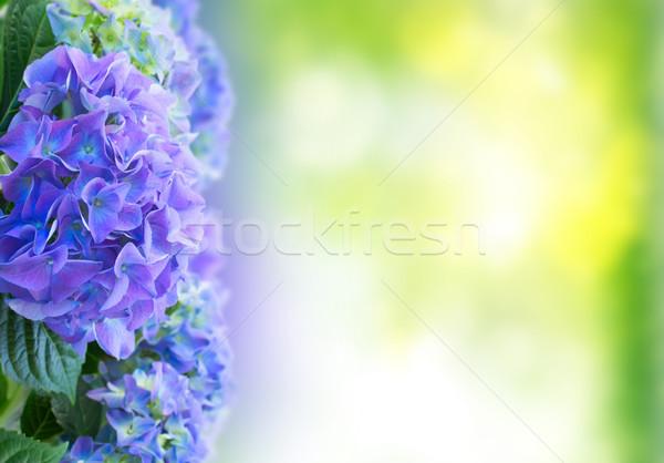 border of blue hortensia flowers Stock photo © neirfy