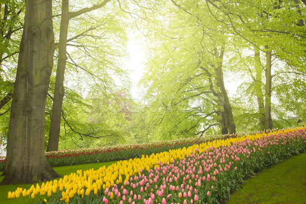 spring flowers in holland garden Stock photo © neirfy