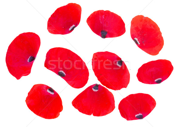 red poppy petals Stock photo © neirfy