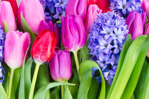 Azul jacinto tulipas rosa vermelho Foto stock © neirfy