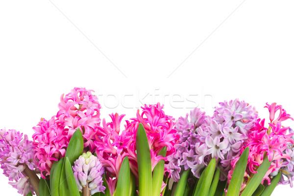 Rosa violeta flores isolado branco Foto stock © neirfy