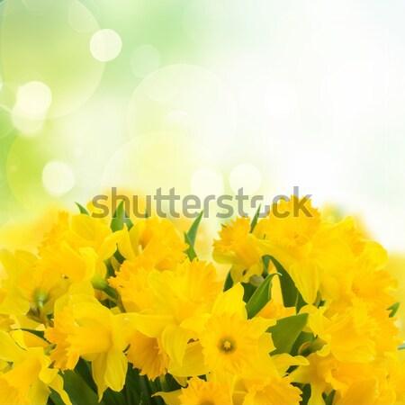 スイセン 花 明るい 庭園 イースター 花 ストックフォト © neirfy