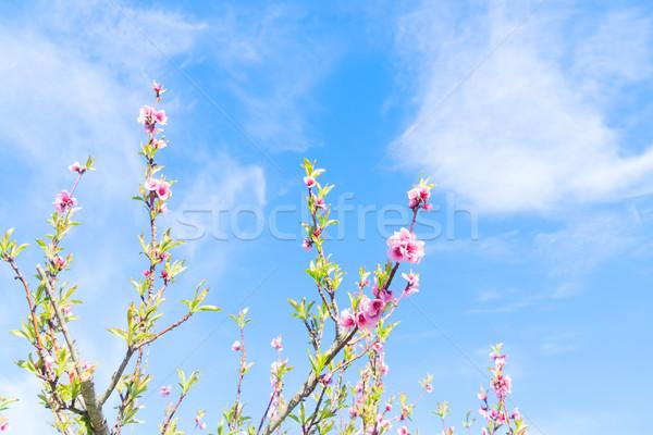 Brzoskwinia drzewo kwiat różowy kwiaty Zdjęcia stock © neirfy