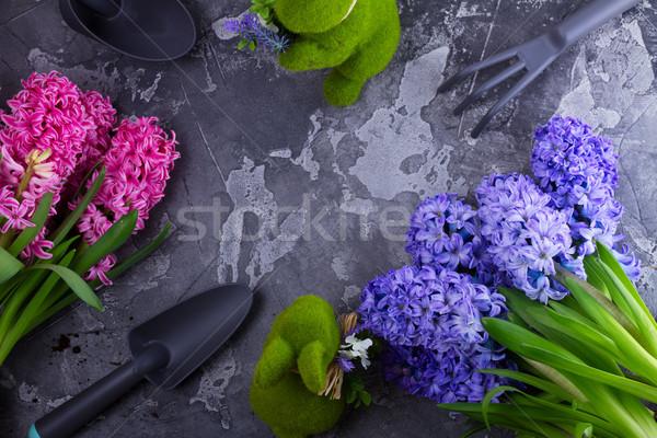 Jardinagem jacinto fresco flores rosa azul Foto stock © neirfy