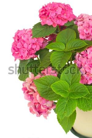 wild roses Stock photo © neirfy