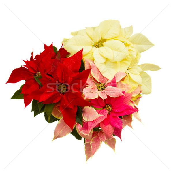 Poinsettia flower - christmas star Stock photo © neirfy
