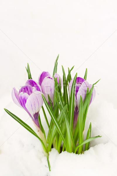 Stockfoto: Paars · sneeuw · voorjaar · krokus · bloemen · groeiend