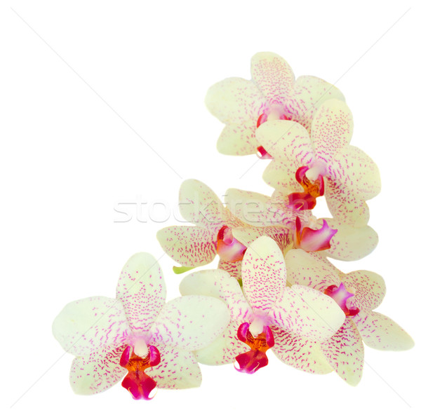 pile  of orchid flowers Stock photo © neirfy