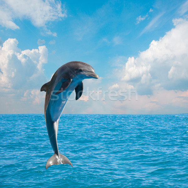 one jumping dolphins Stock photo © neirfy