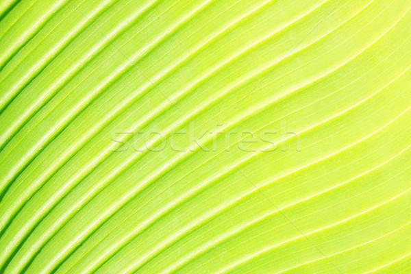 Yeşil yaprak doku taze parlak damar makro Stok fotoğraf © neirfy