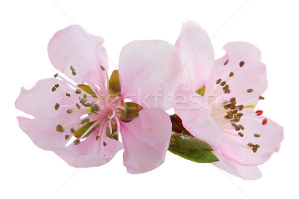 Cerise arbre brindille floraison rose fleurs Photo stock © neirfy