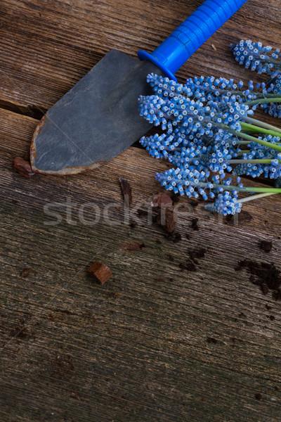 Foto stock: Jacinto · pá · fresco · azul · flores · escuro