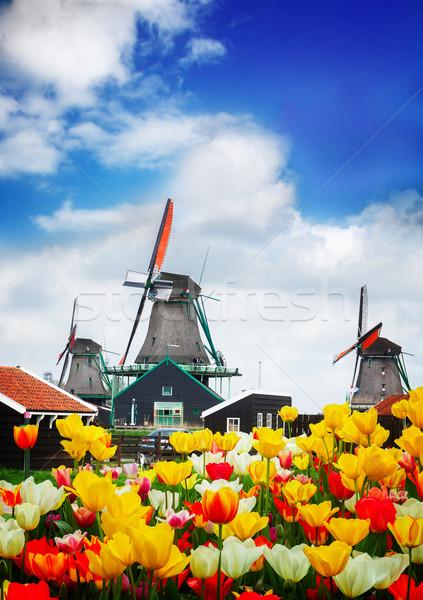dutch windmill over  tulips field Stock photo © neirfy