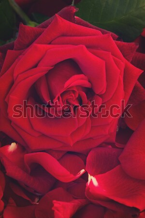 fresh red rose with petals Stock photo © neirfy