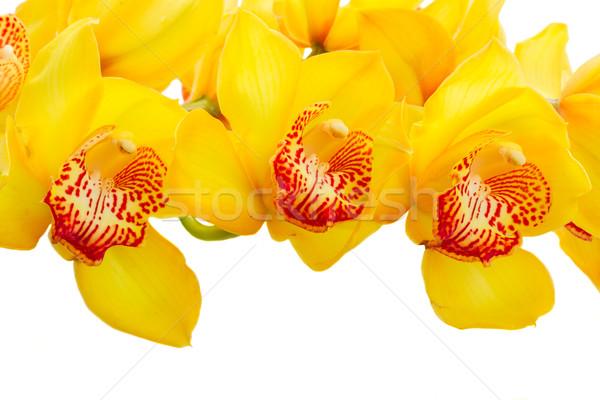 Sarı orkide çiçekler taze sınır Stok fotoğraf © neirfy