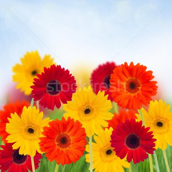 garden of herbera flowers Stock photo © neirfy