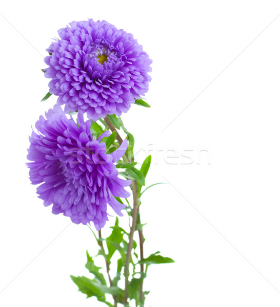 tree aster lilac flowers Stock photo © neirfy