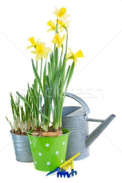 pot of daffodils with gardening tools Stock photo © neirfy