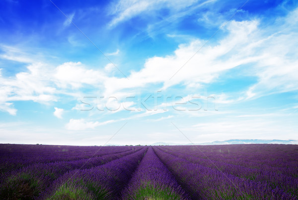 Lavender field under blue sky Stock photo © neirfy