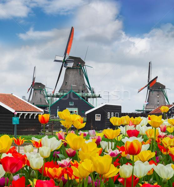 オランダ語 風車 チューリップ フィールド 農村 風景 ストックフォト © neirfy