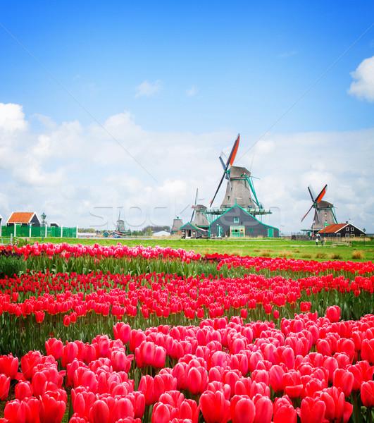 Holland szélmalom tulipánok mező csatorna rózsaszín Stock fotó © neirfy