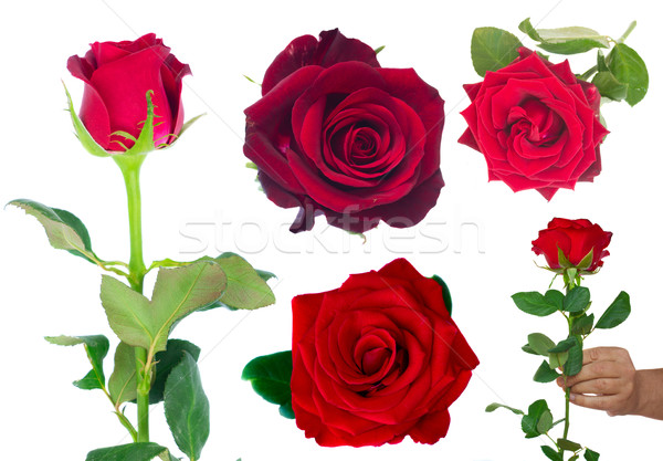 bouquet of blossoming dark red roses in vase Stock photo © neirfy