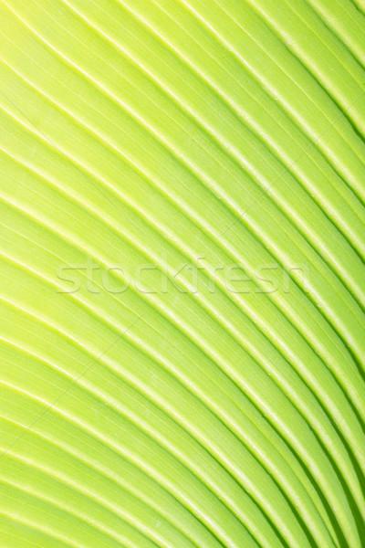 Foto stock: Hoja · verde · textura · frescos · verde · hoja · de · palma · vena